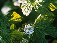 Hydrastis canadensis L. - Botanical characteristics